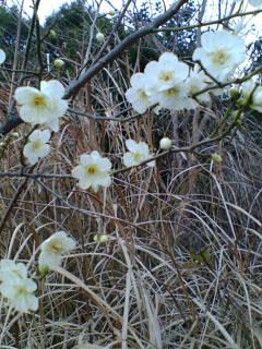白梅も咲く、節分会